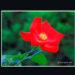 朱いバラ、赤いバラ、紅いバラ…どの字にするか迷ってしまう