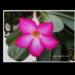 アデニューム・オスベス砂漠に咲く赤い花、沙漠のバラが美しい